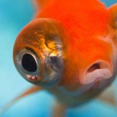 Imagem da notícia: Retina dos peixes pode ajudar humanos?