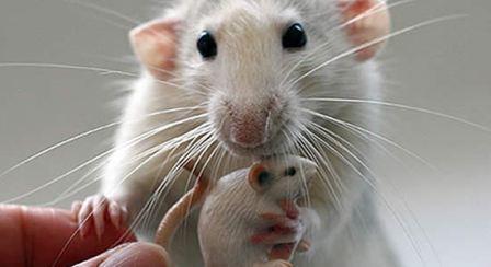 Imagem da notícia: Conseguida transmissão de informação entre cérebros de ratos